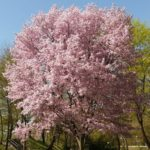 A picturre of a pink blooming cherry tree
