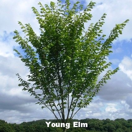 A picture of a young elm sapling